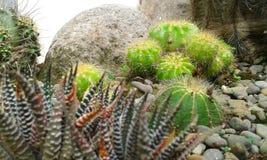 kaktus 2 Arkivbilder