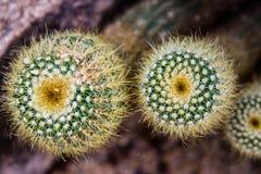 kaktus Zdjęcie Royalty Free