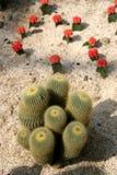 kaktus Arkivfoto
