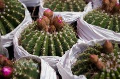 kaktus Zdjęcia Royalty Free