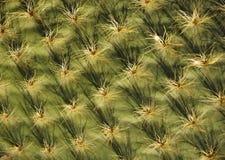 Kaktus Lizenzfreie Stockfotografie