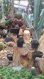 Kaktus Fotografia Stock Libera da Diritti
