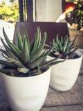 kaktus Royaltyfri Foto