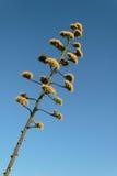 Kaktus - Agava Obrazy Royalty Free
