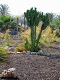 Kaktus-Almeria-Andalusia Arkivfoto