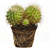 Kaktus auf dem Boden getrennt auf Weiß Stockfoto