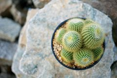 Kaktus auf dem Felsen Stockbild