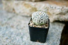 Kaktus auf dem Felsen Lizenzfreies Stockbild