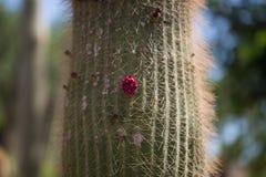 Kaktus auf dem Küstenkanarienvogel, Küstenlinie Stockfoto