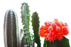 Kaktus auf einem weißen Hintergrund Lizenzfreies Stockfoto