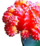 Kaktus auf einem weißen Hintergrund Lizenzfreie Stockfotos