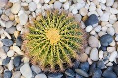 Kaktus auf Steingarten lizenzfreie stockfotografie