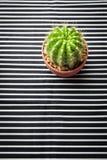 Kaktus auf Streifenmuster Stockfotografie
