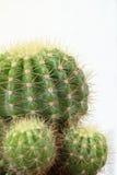 Kaktus auf weißem Hintergrund Lizenzfreies Stockbild