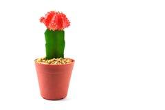 Kaktus auf weißem Hintergrund stockfotos