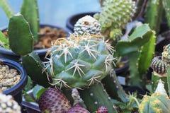 Kaktus-Bäume mit den großen Dornen in der Kindertagesstätte Lizenzfreie Stockfotos