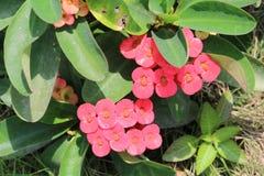 Kaktus blüht mit auch den rosa manys und gelber Farbe Lizenzfreie Stockbilder