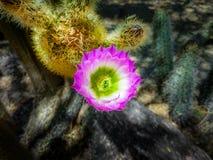 Kaktus-Blüte lizenzfreies stockfoto