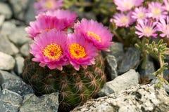 kaktus bloom Zdjęcie Royalty Free