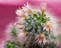 kaktus bloom Zdjęcie Stock