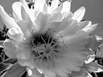 Kaktus Blosom in Schwarzweiss Stockfoto