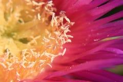 Kaktus-Blume Lizenzfreies Stockbild
