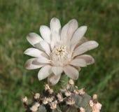 Kaktus-Blume Lizenzfreie Stockbilder