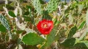 Kaktus in Blume 1 lizenzfreie stockfotos