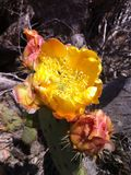 Kaktus-Blumen Stockfotografie