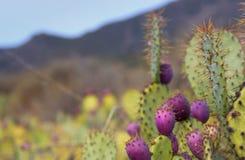 kaktus bobra Zdjęcie Royalty Free