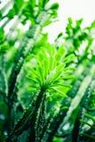 Kaktus, Bokeh Fotografia Stock