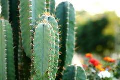 Kaktus (Cereus Hildmannianus) i trädgården Arkivfoto