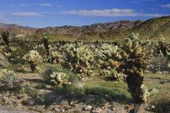 kaktus cholla Obraz Royalty Free