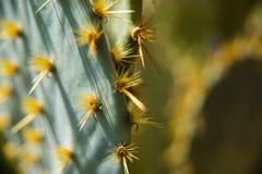 Kaktus Closup Lizenzfreie Stockfotografie