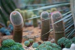 Kaktus Clouse-up auf dem schönen Hintergrund Stockbild