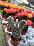 Kaktus coloured Obrazy Royalty Free