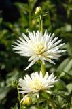 Kaktus-Dahlie Lizenzfreies Stockbild