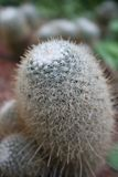 Kaktus (Dame Finger) Stockfotos