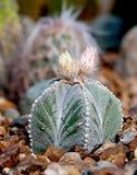 Kaktus in den Felsen Stockfotografie