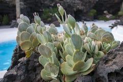 Kaktus in den Steinen Stockfoto
