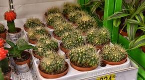 Kaktus in den Töpfen auf den Supermarktregalen Stockbilder
