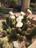 Kaktus in der Blüte Lizenzfreies Stockfoto