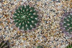 Kaktus, der im Felsenbett, saftige Anlage wächst Stockbilder