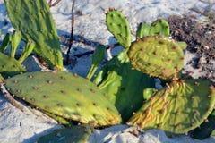 Kaktus, der im Sand wächst Stockfotografie
