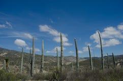 Kaktus in der Orgelpfeife Stockbilder