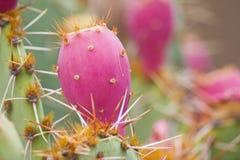 Kaktus der stacheligen Birne Stockfotografie