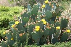 Kaktus der stacheligen Birne Stockfotos