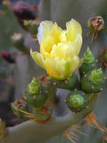 Kaktus der stacheligen Birne in der Blüte Stockfotos