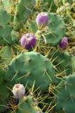 Kaktus der stacheligen Birne der Opuntie Stockbild