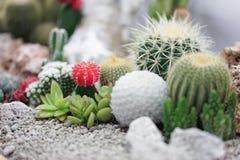 kaktus Deseru ogród z succulence roślinami z miękką ostrością na czerwonym kaktusie, Gymnocalycium mihanovichii zdjęcia stock